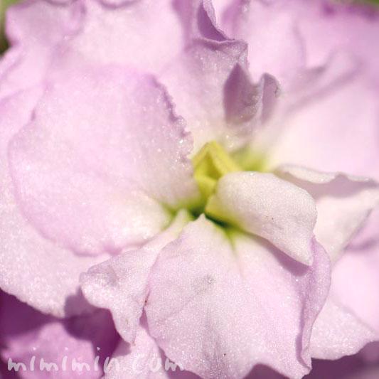 トックの花言葉・ピンクのストックの花の写真