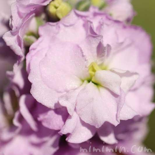ストックの花言葉・ピンクのストックの画像