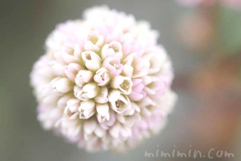 ポリゴナムの花(白×ピンク)の写真