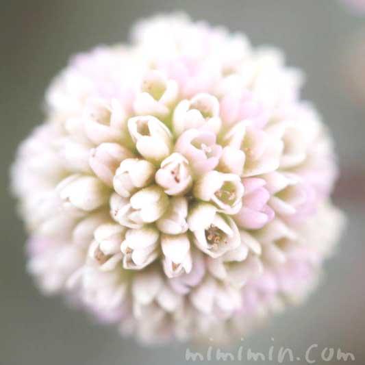 ポリゴナム(白×ピンク)の画像