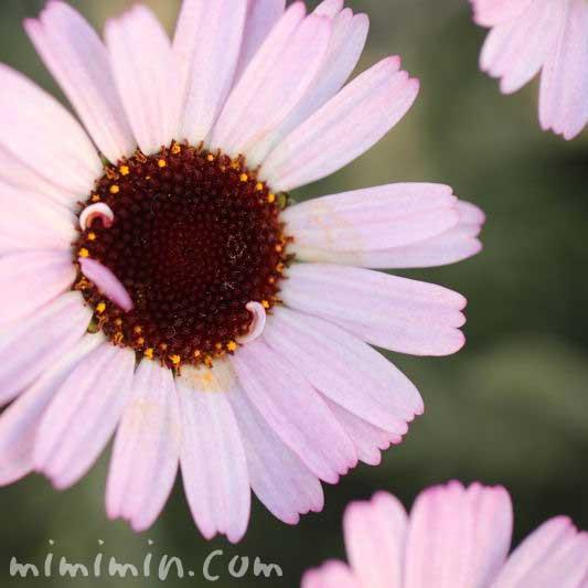ローダンセダムの花の画像