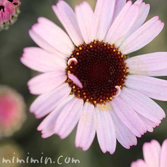 ローダンセダム・ピンクの写真