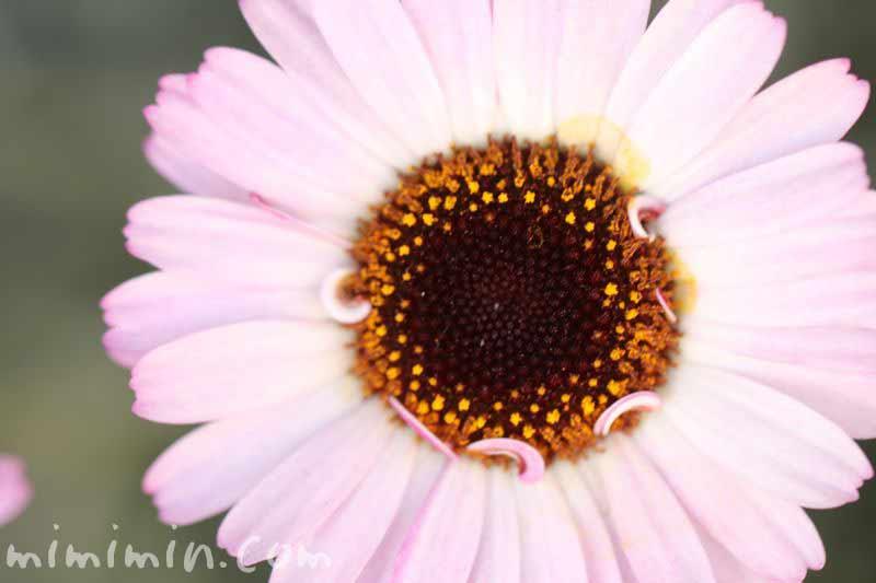 ローダンセダムの花・ピンクの写真