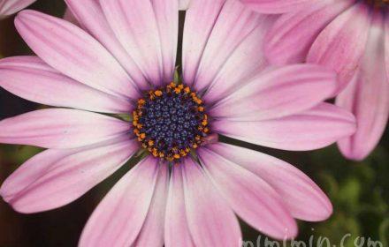 オステオスペルマム(薄いピンク)の写真