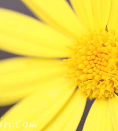 ユリオプスデージーの花の写真と花言葉