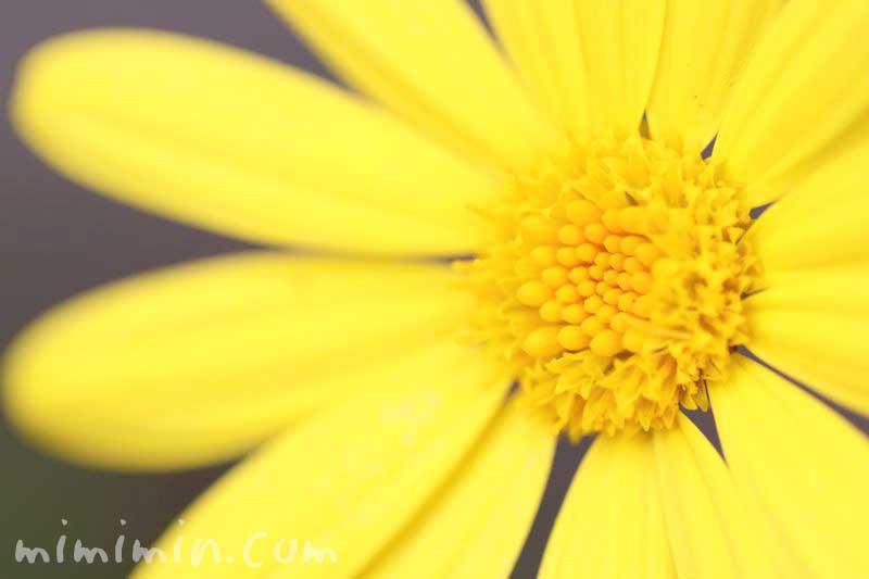 ユリオプスデージーの花言葉と誕生花の画像