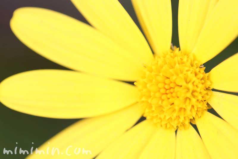 ユリオプスデージーの花言葉と誕生花