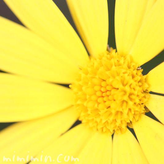 ユリオプスデージーの花言葉