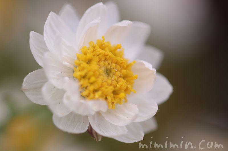 花かんざしの花言葉の画像