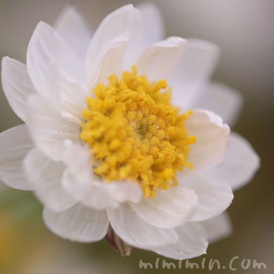 ハナカンザシの花