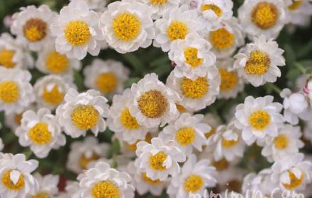ハナカンザシの花言葉の写真