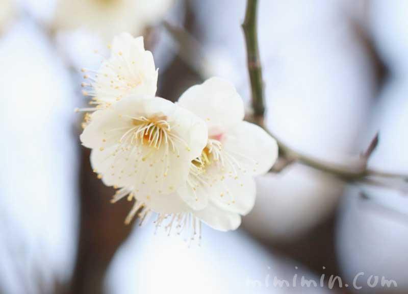 白梅の花の写真・梅の花言葉の画像