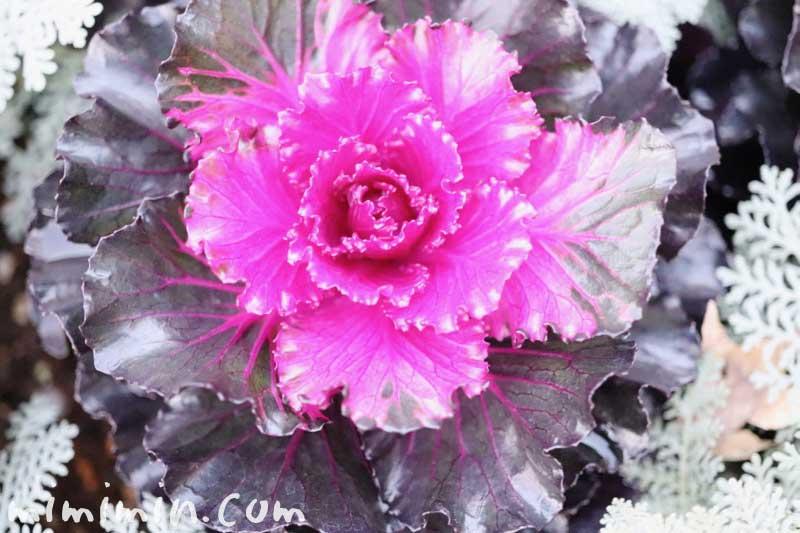ハボタン(紫)の写真 花言葉
