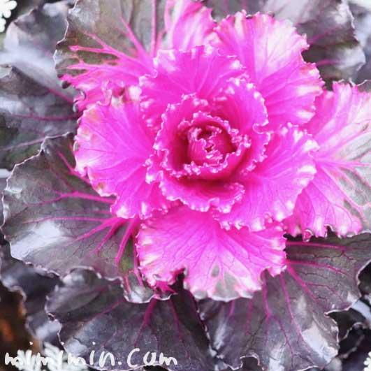葉牡丹(丸葉系 紫色)の写真&花言葉の画像