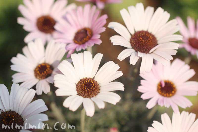 ローダンセマムの花・白