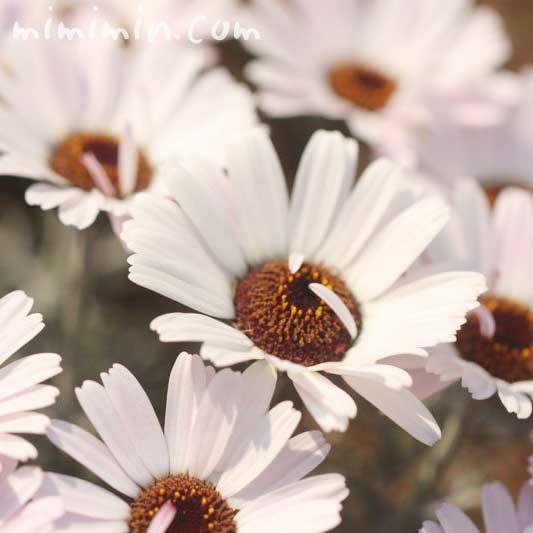 ローダンセマムの花・白の写真