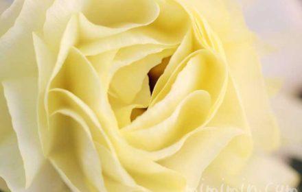 ラナンキュラス(薄い黄色)の写真