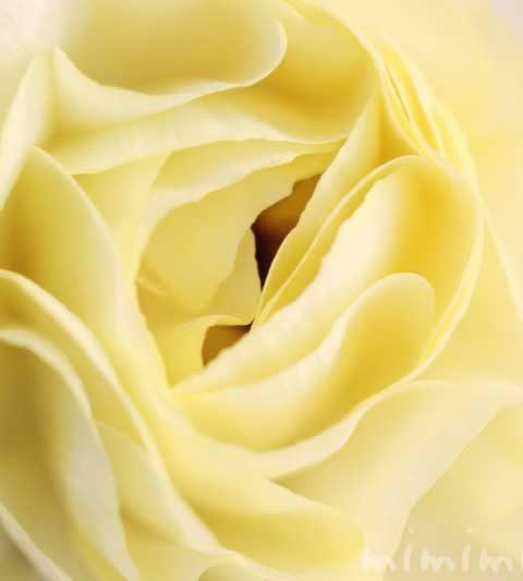 ラナンキュラスの花言葉・誕生花・名前の由来