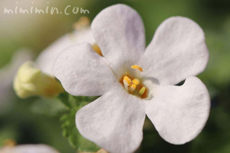 バコバの花の画像