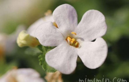 バコバ(ステラ)の花の写真