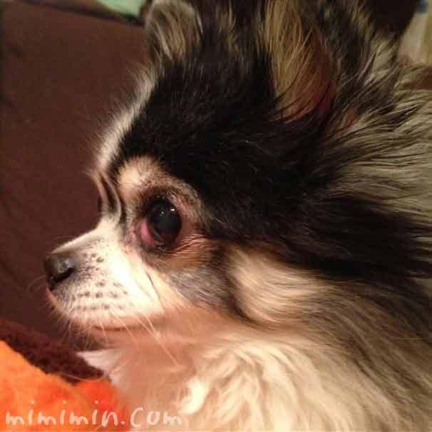チェリーアイ 犬の目お粘膜の腫れの画像