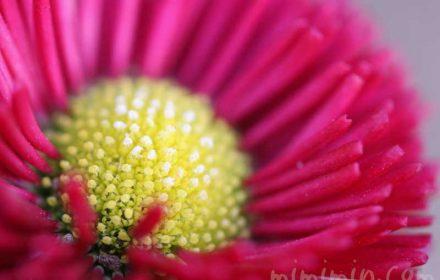ひなぎくの花の写真(赤色)