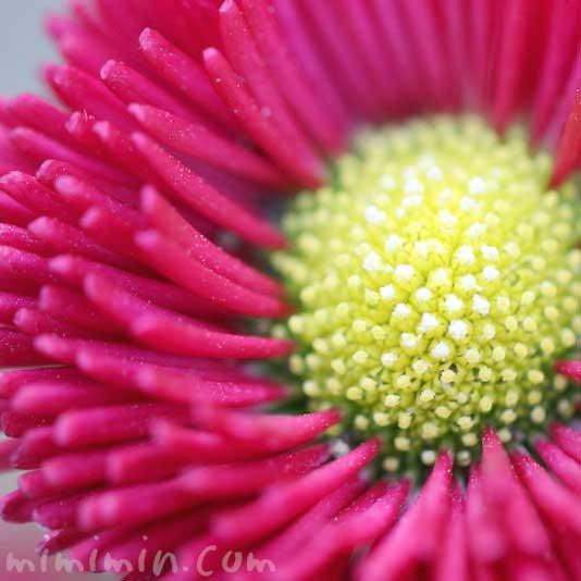 デイジーの花(赤色)の画像