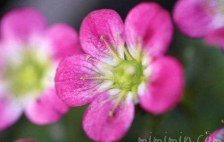 雲間草の花の画像