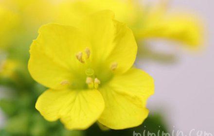 油菜の花の画像