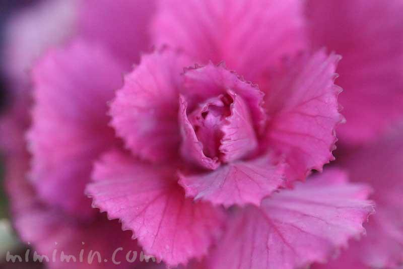葉牡丹(紫)