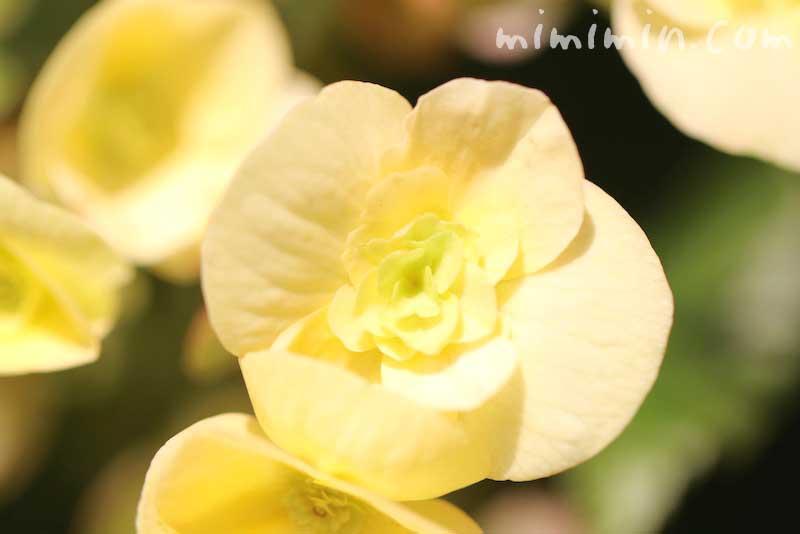 リーガースベゴニアの写真と花言葉の画像