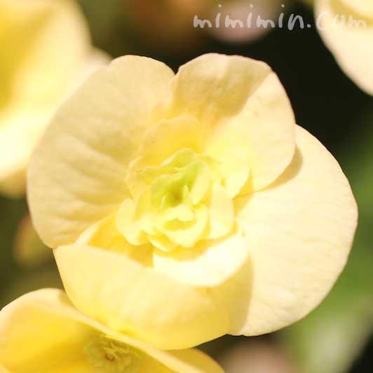 エラチオールベゴニアの花の写真と花言葉の画像