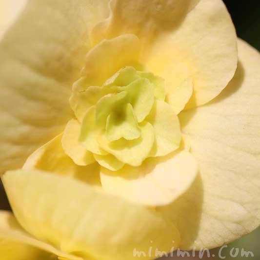 エラチオールベゴニアの写真と花言葉の画像