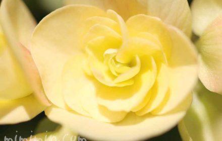 リーガースベゴニアの花の写真と花言葉の画像