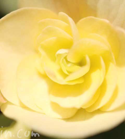 リーガースベゴニア(エラチオールベゴニア)の花言葉・名前の由来