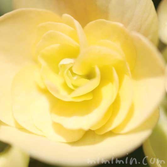 リーガースベゴニアの写真 花言葉