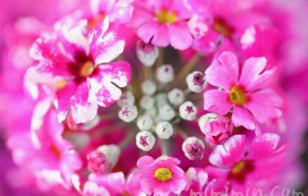 西洋桜草(プリムラマラコイデス)の花の写真・花言葉の画像