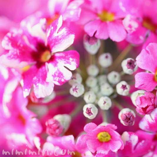 西洋桜草(プリムラマラコイデス)の写真・花言葉の画像
