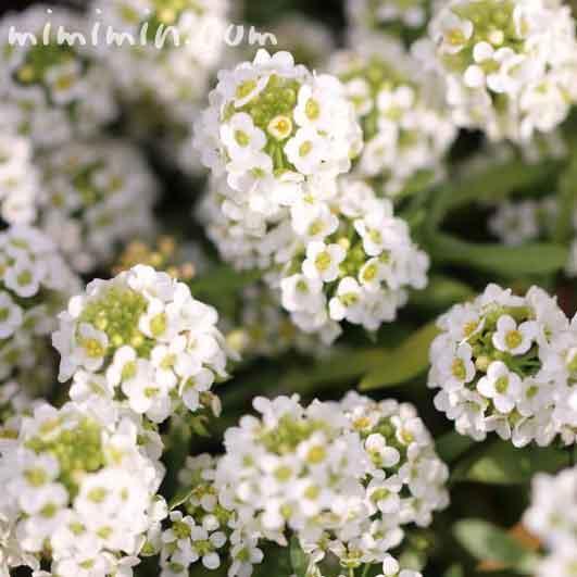 アリッサムの花・白の画像