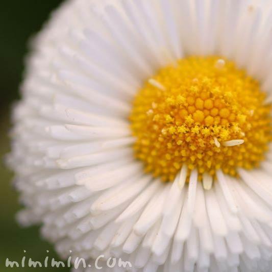 デージーの花・白の写真