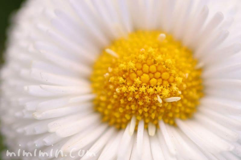 デイジーの花・白の写真