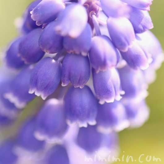 ムスカリの写真と花言葉
