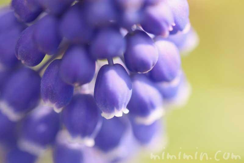 ムスカリの写真と花言葉の画像