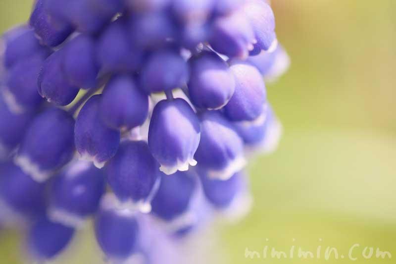 ムスカリの花の写真と花言葉の画像