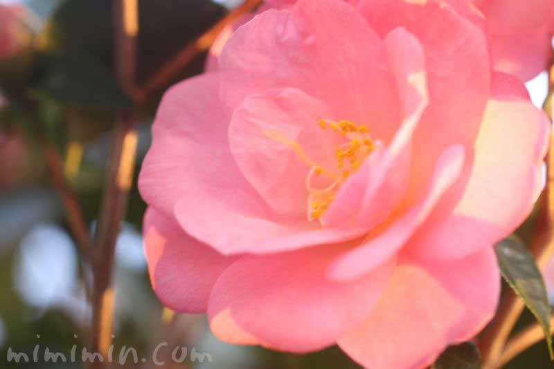 ピンクの椿の花の写真・花言葉の画像