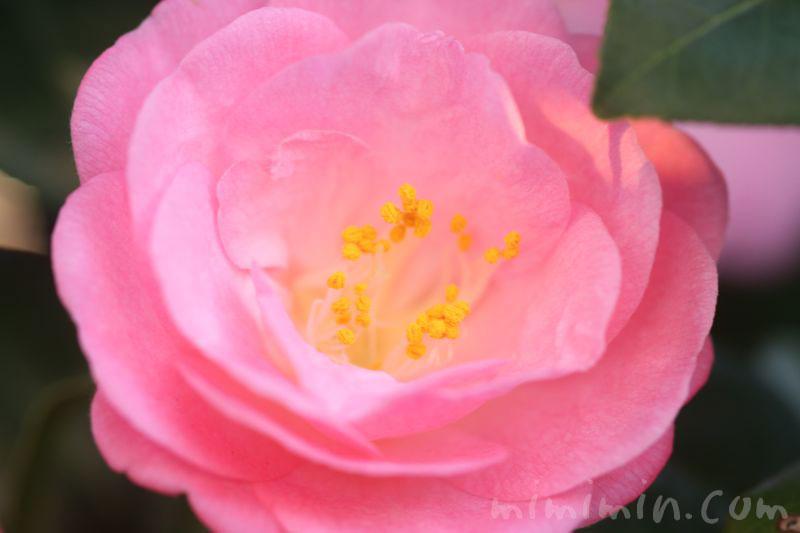 ピンクの椿の花の写真・ツバキの花言葉の画像