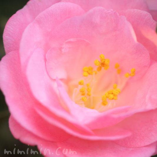 ピンクのツバキの花の写真・花言葉の画像