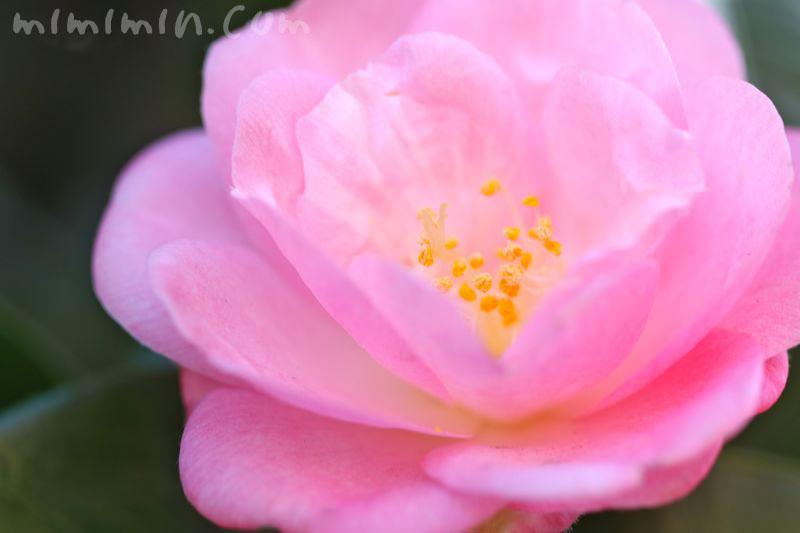 ピンクのツバキの花の写真・ツバキの花言葉の写真
