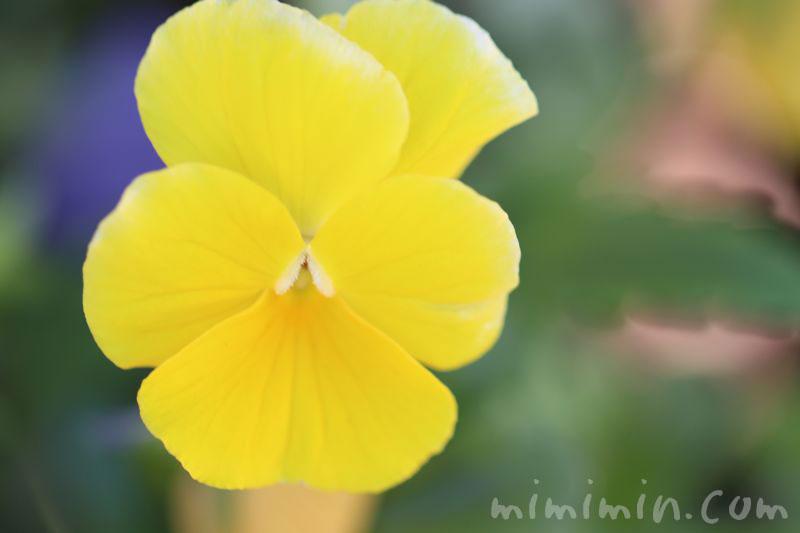 黄色のパンジー(花言葉・誕生花)