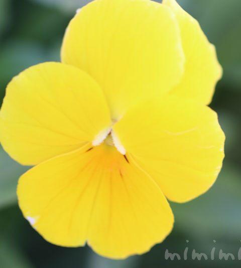 パンジーの花言葉・黄色いパンジーの写真